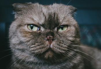 Portrait of  beautiful fold. Face of cute cat close-up.