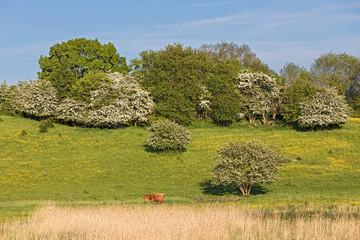 Extensiv genutzte Weide mit Weißdorn und anderen Sträuchern und Bäumen im Frühling mit Hahnenfuss und einem Hochlandrind. Bei Lütjenburg in Schleswig-Holstein