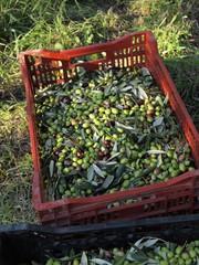 イタリアのオリーヴ収穫風景
