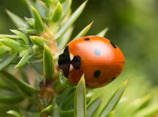 Seven-spot ladybird, Coccinella septempunctata on juniper