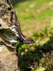 Close up a black lizard.
