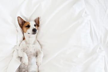 Sleeping dog at bed