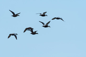 Migrating flock with Eider ducks