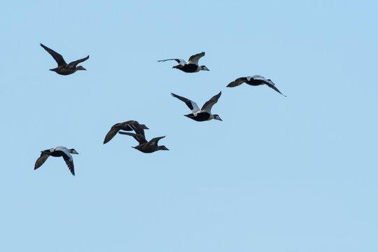 Migrating flock with Eider ducks