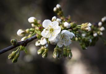 apple twigs on white flower