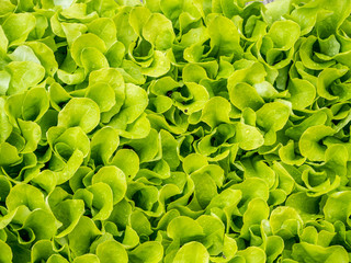 Kopfsalat Texture