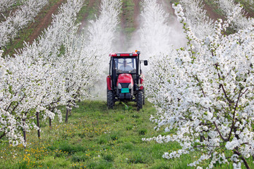 tractor sprays insecticide in cherry orchard agriculture