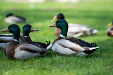 Duck and friends in town Steinhagen, Germany