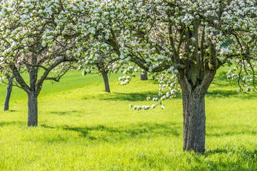 Blühende Obstbäume Fotoväggar