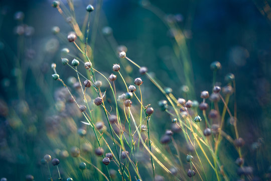 flax field in the evening sun