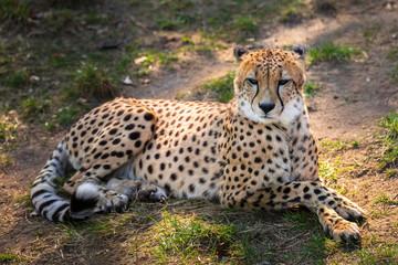 Beautiful cheetah lying down on green fields
