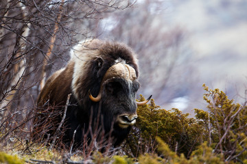 Musk ox in Dovrjefell, Norway