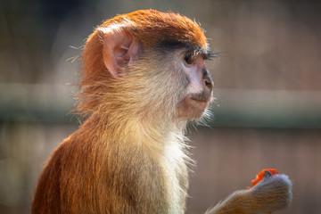 Patas monkey eating carrot
