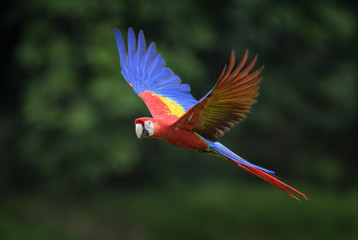 Scarlet Macaw - Ara macao, large beautiful colorful parrot from New World forests, Costa Rica. Fotomurales