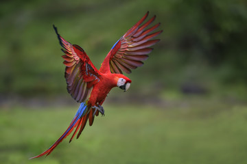 Foto op Canvas Papegaai Scarlet Macaw - Ara macao, large beautiful colorful parrot from New World forests, Costa Rica.