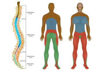 Spinal Nerves Chart. Spinal cord.  Peripheral Nervous System. Spinal Anatomy