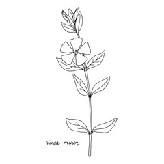 Ink drawing plant of periwinkle