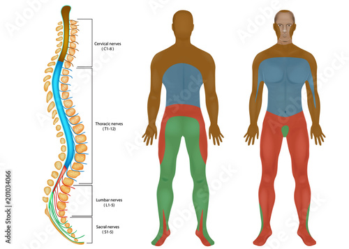 Spinal Nerves Chart. Spinal cord. Peripheral Nervous System. Spinal ...