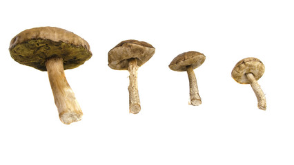 Group of mushrooms boletus in a line of descending weight on a white isolated background