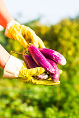 Closeup of big organic eggplants in woman's hands. Farming and gardening. Healthy food concept. Outdoor photography. Earth Day.