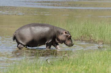'Hippopotame, Hippopotamus amphibius, Afrique du Sud