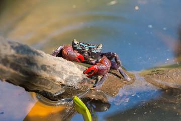 Beautiful Meder's Mangrove Crab