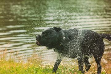 Black Labrador retriever dog.