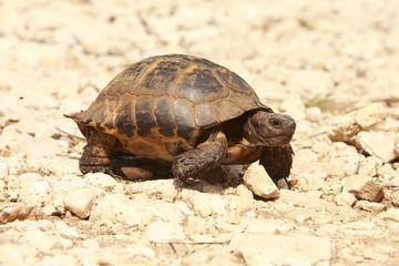 Spur-thighed Tortoise (Testudo graeca) in natural habitat