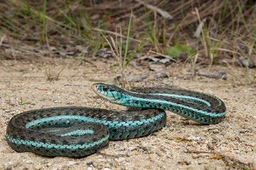 Bluestripe Garter Snake (Thamnophis sirtalis similis)