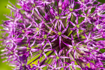 Purple blooming ornamental onion on green background, macro image