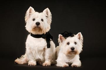 Zwei West Highland White Terrier auf schwarzem Hintergrund