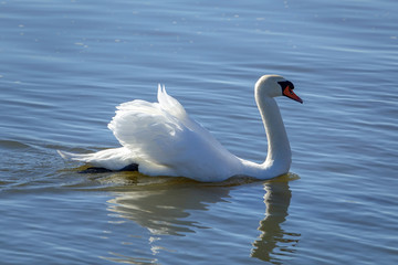 A beautiful white swan swimming gracefully