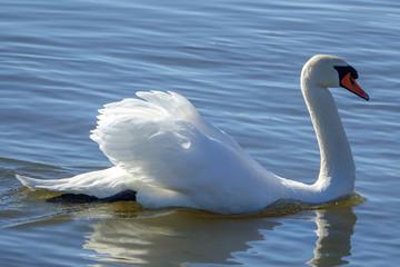 A beautiful white swan swimming gracefully