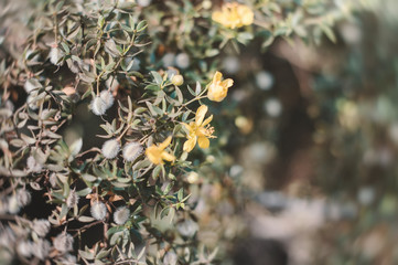 Yellow flowers of Larrea tridentata also known as creosote bush. Background with exotic yellow flowers on desert shrub