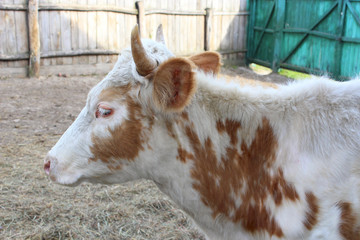 Red-and-white cow on farm. Domestic animal