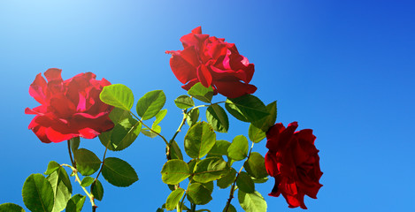 Red roses on sunny sky.