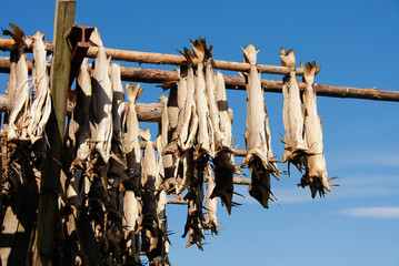Norwegian stockfish dried by hang on the sun and fresh air