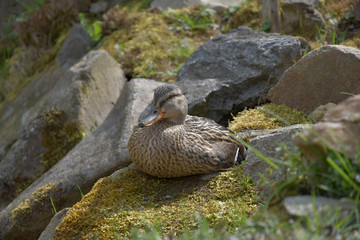 Anas platyrhynchos, A wild duck sits on a moss-covered stone.