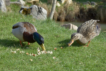 Anas platyrhynchos, wild ducks will feed the food from the grass.