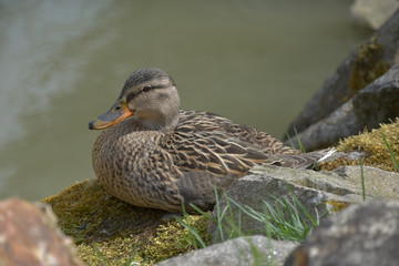 Anas platyrhynchos. A wild duck sits on a moss-covered stone.