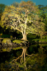 Tree with reflection at Hamarikyu (also Hama Rikyu)  Gardens, Chuo Ward, Tokyo, Kanto Region, Honshu, Japan