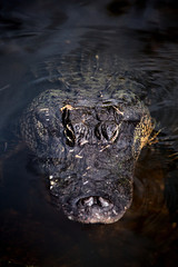 American Alligator (Alligator Mississippiensis) in the waters of the Florida Everglades