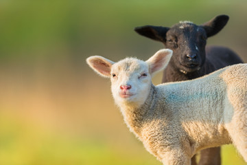 Portrait of cute different black and white young lambs on pasture
