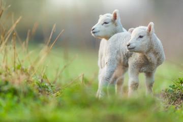 Fototapeta premium Śliczne młode jagnięta na pastwisku, wczesnym rankiem na wiosnę.