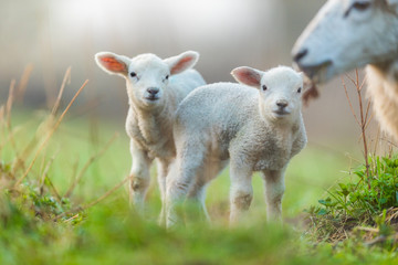 Cute young lambs with their mother on pasture