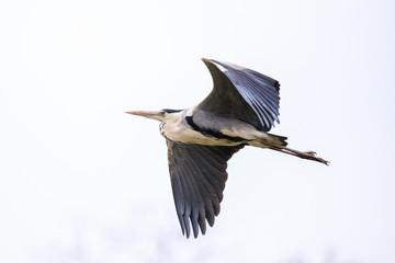 Airone cenerino (Ardea cinerea) in volo