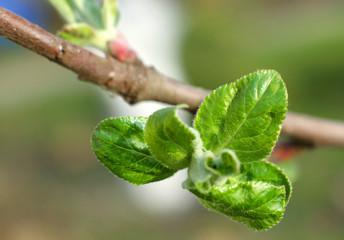 Apple small leaves macro