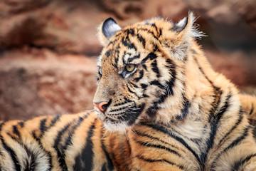 Sumatran Tiger (Panthera tigris sumatrae) cub