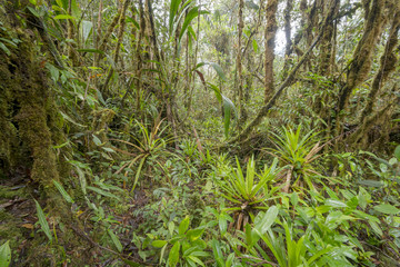 Interior of mossy montane rainforest. High on a Tepuy (flat topped sandstone mountain), home to many endemic species, above Rio Nangaritza Valley in the Cordillera del Condor, Ecuador