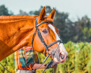 Portrait of a thoroughbred sorrel horse, blur green trees background. Beautiful chestnut dressage horse closeup, equestrian sport. Side view head shot of a bay stallion.